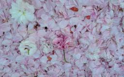 바람의 날리는 왕벚꽃